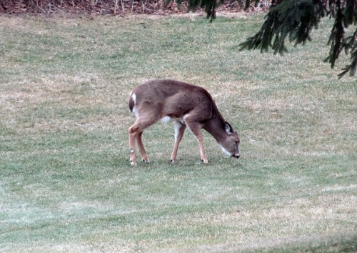 Doe feeding in back yard